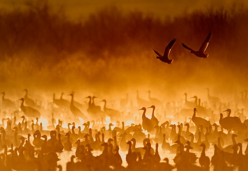 Cranes in the Fire Mist Photograph by Scott Bourne