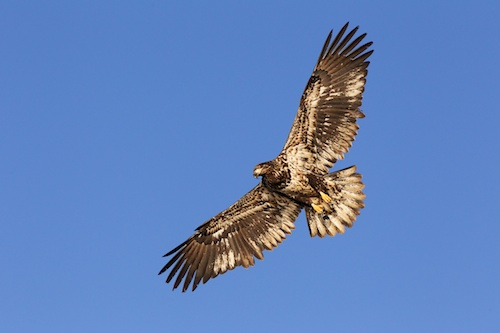 I love the coloration on the underside wings of the immature Bald Eagles - Copyright Scott Bourne 2011 - All Rights Reserved