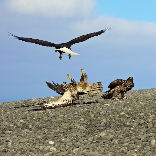 Eagles Fighting Over Food - Copyright Scott Bourne 2011 - All Rights Reserved
