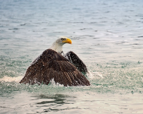 Eagle swimming by Scott Bourne 2011 - All Rights Reserved