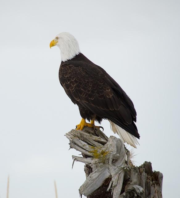Eagle head turned off camera axis.