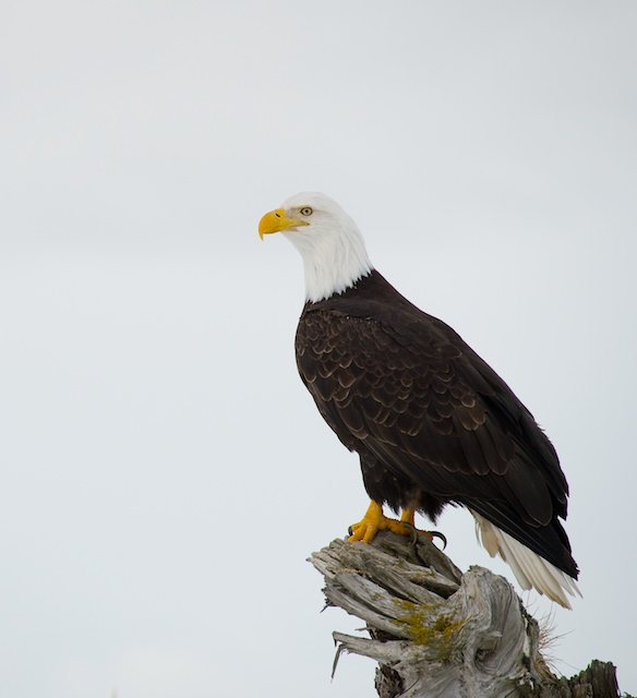 Eagle head turned properly in relationship to camera axis.