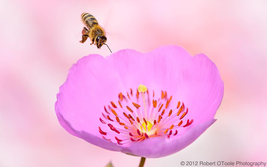 Honey-bee-on-Calandrinia_1171