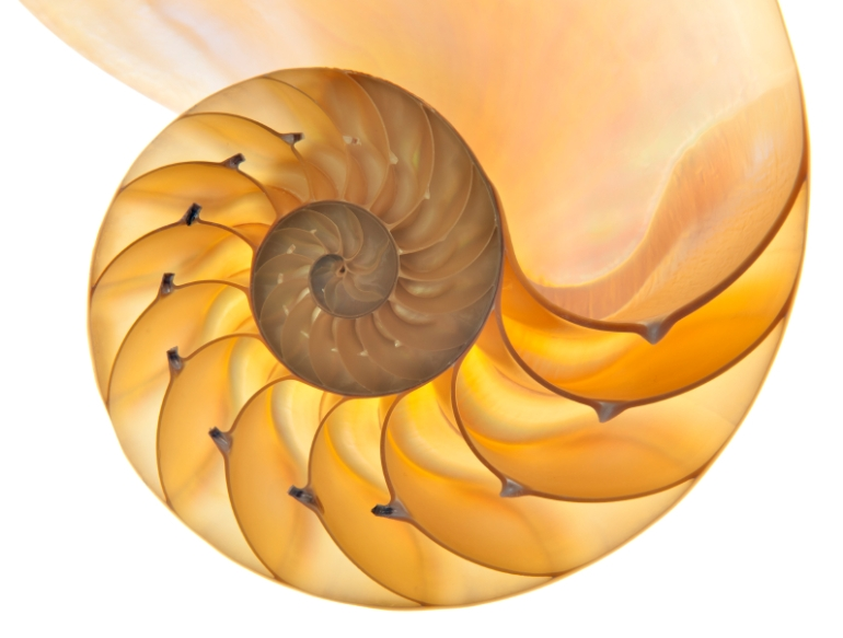 Detailed photo of a halved backlit  shell of a chambered nautilus (Nautilus pompilius) isolated on whitePhoto by Fyletto — iStockphoto