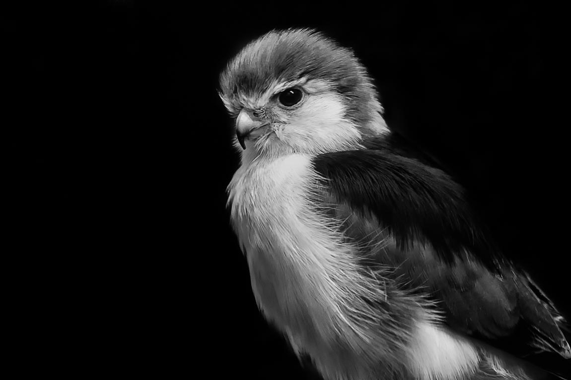 pygmy_falcon