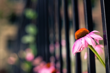 While this flower was what originally caught my eye, it was the way it protruded through these bars that made the shot for me