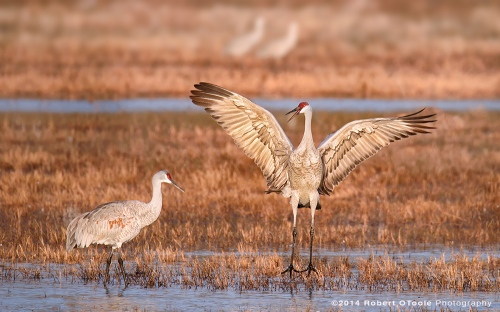 Early morning crane display. Sigma 150-600 Sports lens and Nikon D810, 1/1250 s, f/6.3, 600mm ISO 640, EV + .3, Manual mode with Auto-ISO, Jobu MK3 gimbal head and Jobu Algonquin Carbon Tripod.