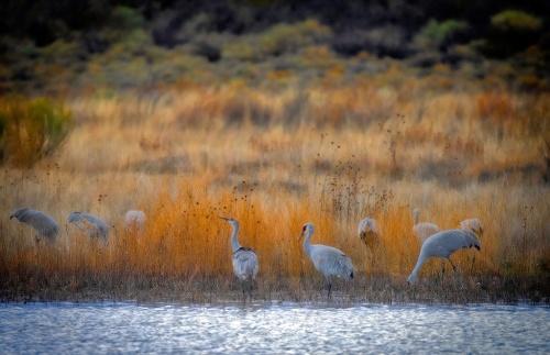 Family Of Cranes - Photo Copyright Scott Bourne