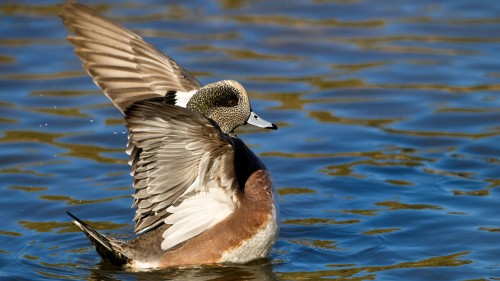 Widgeon Flap Copyright Scott Bourne
